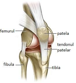 cupă articulația genunchiului