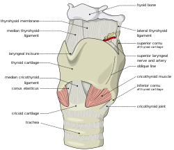 Anatomia laringelui