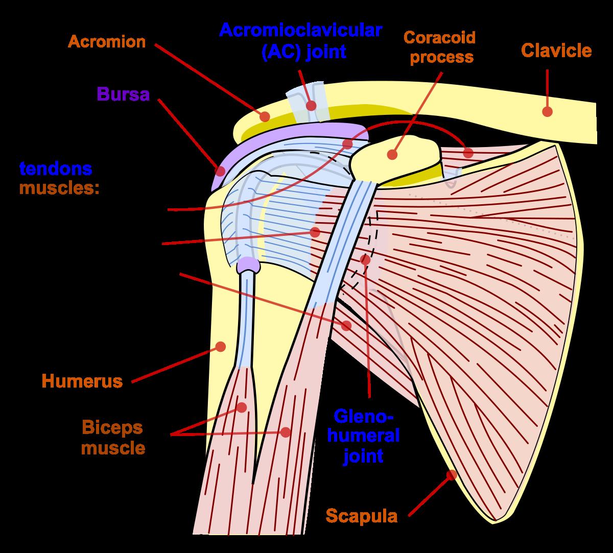 articulația umărului doare lăstarii dureri articulare la nivelul umerilor și șoldurilor