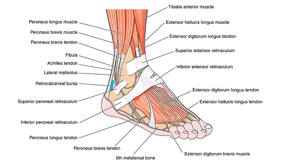 Entorsa de genunchi – generalități