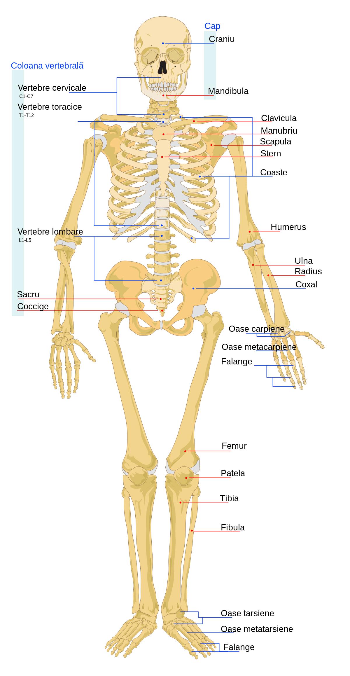 Osteocondroza de 3 grade a articulației șoldului dureri articulare dimineața cauzele