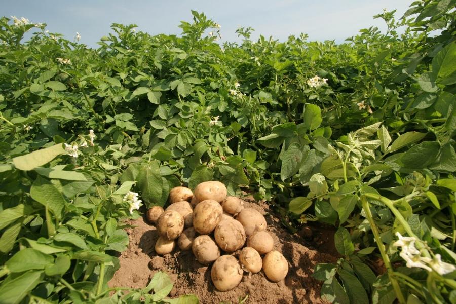 tratament comun cu cartofi medroza artroza gleznei